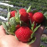 草莓园摘草莓